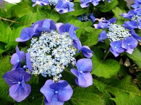 21.5.29*紫陽花-1*30.8-186.5.jpg