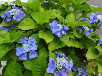 6.2*紫陽花*2.jpg