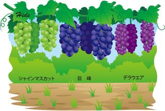 7.25*ぶどう3種*33-210.1.jpg