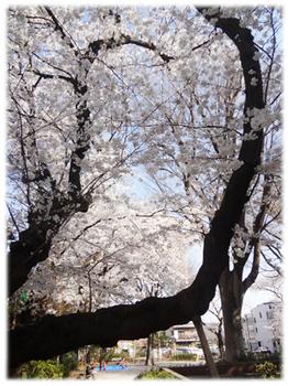台風で倒された桜の老木.jpg
